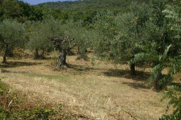 COD 320 T&R -TERRENO AGRICOLO A BOSCO ED ULIVETO DI MQ 2470